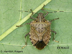 5-Brown-marmorated-stink-bug